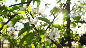 Flores de la pera