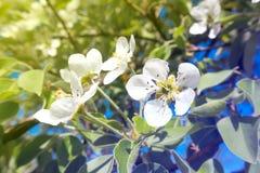 Flores de la pera Foto de archivo libre de regalías