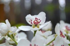 Flores de la pera Fotografía de archivo libre de regalías