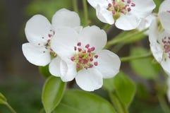 Flores de la pera Imágenes de archivo libres de regalías