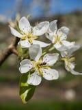 Flores de la pera en una huerta Fotos de archivo