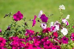 flores de la petunia Fotos de archivo