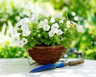 Flores de la petunia foto de archivo libre de regalías