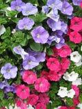 Flores de la petunia Imágenes de archivo libres de regalías