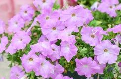 Flores de la petunia Fotografía de archivo