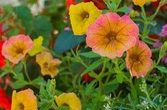 Flores de la petunia fotos de archivo libres de regalías