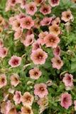Flores de la petunia Fotografía de archivo libre de regalías