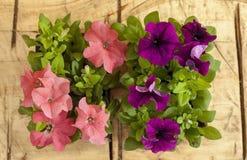 Flores de la petunia Imagenes de archivo