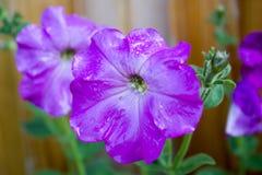 Flores de la petunia Imagen de archivo libre de regalías