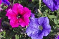 Flores de la petunia de Colorfull Fotografía de archivo libre de regalías