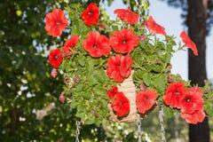 Flores de la petunia en áreas al aire libre de las cestas de la ejecución Imágenes de archivo libres de regalías