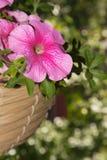 Flores de la petunia en áreas al aire libre de las cestas de la ejecución Fotos de archivo libres de regalías