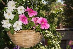 Flores de la petunia en áreas al aire libre de las cestas de la ejecución Foto de archivo libre de regalías