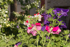 Flores de la petunia en áreas al aire libre de las cestas de la ejecución Fotos de archivo