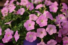 Flores de la petunia en el jardín Imágenes de archivo libres de regalías