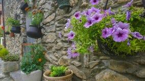Flores de la petunia en la pared medieval Fotografía de archivo