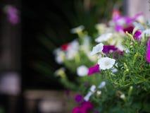 Flores de la petunia en los potes de la ejecución dispuestos Fotografía de archivo