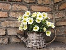 Flores de la petunia en pote de mimbre Imagen de archivo libre de regalías