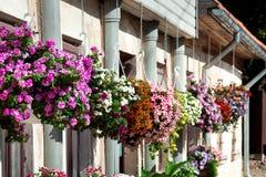 Flores de la petunia en potes Imagen de archivo