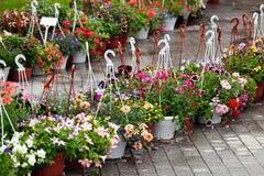 Flores de la petunia en potes Imágenes de archivo libres de regalías
