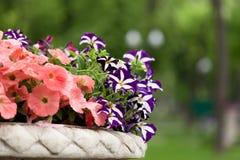 Flores de la petunia en un florero fotos de archivo