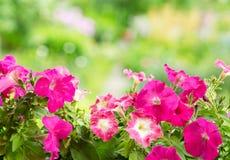 Flores de la petunia en un jardín imágenes de archivo libres de regalías