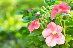 Flores de la petunia en un jardín fotos de archivo