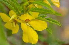 Flores de la planta de guisante de perdiz y x28; Fasciculata& x29 del Chamaecrista; Fotografía de archivo