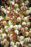 Flores de la planta de la yuca Fotos de archivo libres de regalías