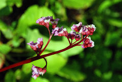 Flores de la planta del Bergenia imagen de archivo