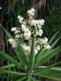 Flores de la planta de la yuca Imágenes de archivo libres de regalías