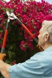 Flores de la poda del hombre en jardín Fotos de archivo libres de regalías