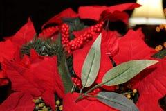 Flores de la poinsetia Fotografía de archivo