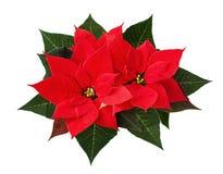 Flores de la poinsetia de la Navidad Fotografía de archivo libre de regalías