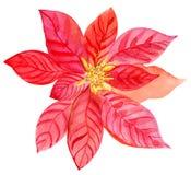 Flores de la poinsetia del ramo de la Navidad, ejemplo de la acuarela fotografía de archivo