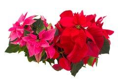 Flores de la poinsetia o estrella rosadas y rojas de la Navidad Imagen de archivo libre de regalías
