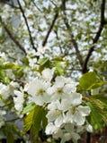 Flores de la primavera Foto de archivo
