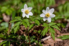 Flores de la primavera, anémona Foto de archivo libre de regalías