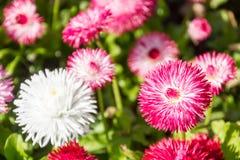 Flores de la primavera, Bellis Imagen de archivo