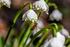 Flores de la primavera con la abeja Fotografía de archivo