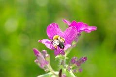 Flores de la primavera con la abeja Fotografía de archivo libre de regalías