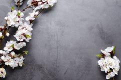 Flores de la primavera con los albaricoques florecientes de las ramas en fondo gris Concepto plano de la endecha imagen de archivo libre de regalías
