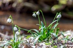 Flores de la primavera, copo de nieve Fotografía de archivo libre de regalías
