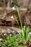 Flores de la primavera, copo de nieve Imágenes de archivo libres de regalías