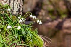 Flores de la primavera, copo de nieve Fotos de archivo libres de regalías