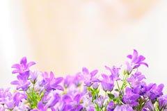Flores de la primavera de la campánula Fotografía de archivo libre de regalías