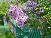 Flores de la primavera de la lila y cerca de madera verde Foto de archivo libre de regalías