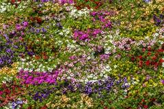 Flores de la primavera de la petunia Imágenes de archivo libres de regalías