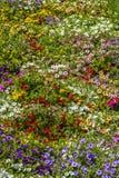 Flores de la primavera de la petunia Imagen de archivo libre de regalías
