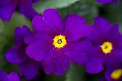 Flores de la primavera de la prímula Imagen de archivo libre de regalías
